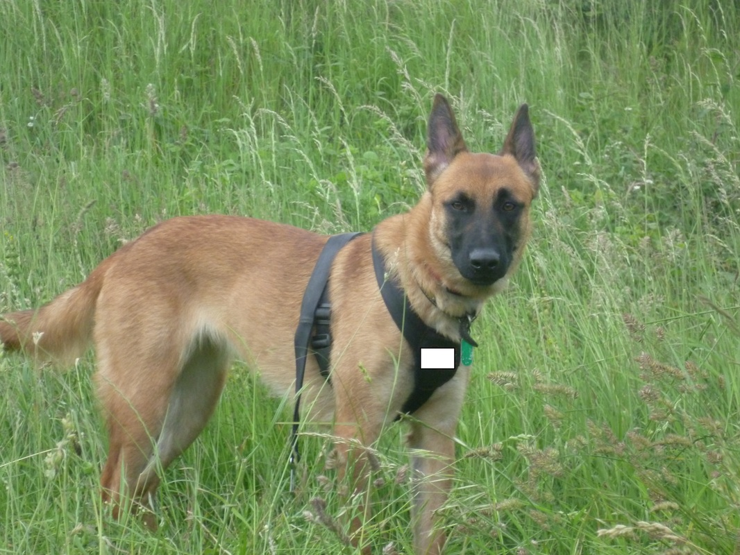 dutch police dog breeds dog breeds picture